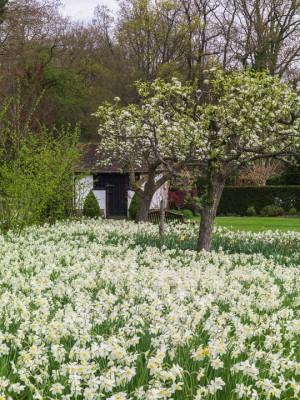 wpid7710-Daffodil-Plant-Profile-GHOR007-nicola-stocken.jpg