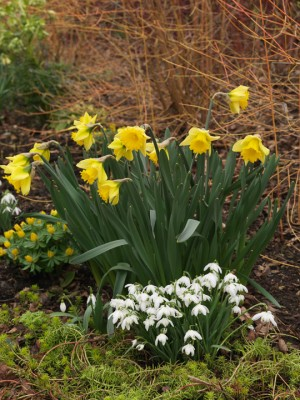 wpid7726-Daffodil-Plant-Profile-GMAO023-nicola-stocken.jpg