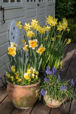 wpid7730-Daffodil-Plant-Profile-GROE012-nicola-stocken.jpg