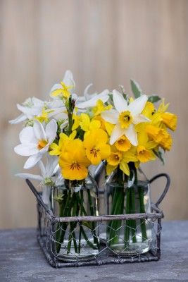 wpid7734-Daffodil-Plant-Profile-QPOS067-nicola-stocken.jpg
