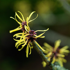 Thumbnail image for Bewitching Witch Hazels