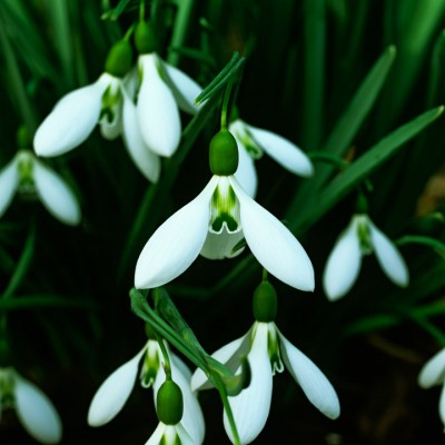 wpid7936-Snowdrops-whats-in-a-name-BGAL106-nicola-stocken.jpg