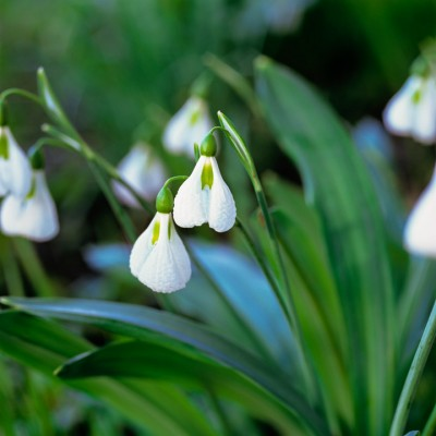 wpid7938-Snowdrops-whats-in-a-name-BGAL124-nicola-stocken.jpg
