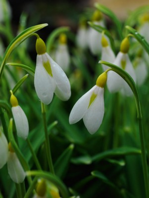 wpid7976-Snowdrops-whats-in-a-name-BGAL235-nicola-stocken.jpg
