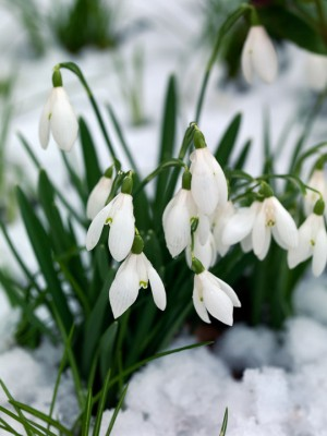 wpid7978-Snowdrops-whats-in-a-name-BGAL256-nicola-stocken.jpg