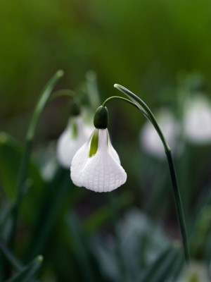 wpid7982-Snowdrops-whats-in-a-name-BGAL301-nicola-stocken.jpg
