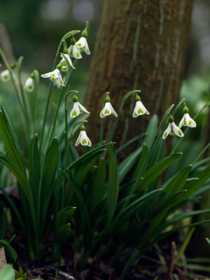 wpid7986-Snowdrops-whats-in-a-name-BGAL304-nicola-stocken.jpg