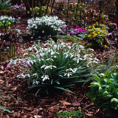 wpid7996-Snowdrops-whats-in-a-name-GWOD006-nicola-stocken.jpg