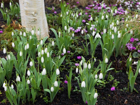 wpid7998-Snowdrops-whats-in-a-name-GASH087-nicola-stocken.jpg