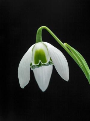 wpid8155-Snowdrop-Plant-Profile-BGAL211-nicola-stocken.jpg