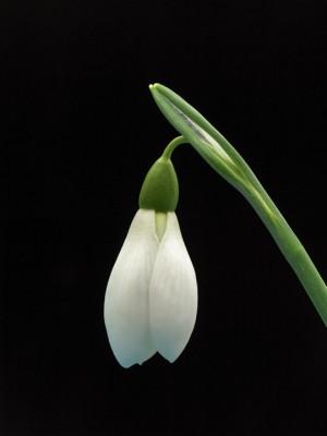 wpid8157-Snowdrop-Plant-Profile-BGAL212-nicola-stocken.jpg