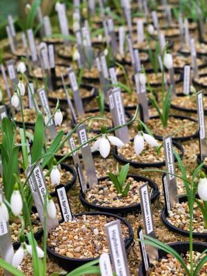 wpid8165-Snowdrop-Plant-Profile-GBYN009-nicola-stocken.jpg