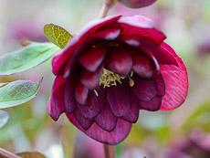 Thumbnail image for Hellebore Plant Profile