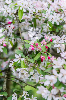 Thumbnail image for Flowering Trees in April and May