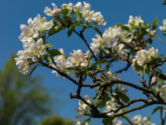 wpid10439-Flowering-Trees-in-April-and-May-TAPP019-nicola-stocken.jpg