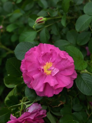 wpid11510-A-Seaside-Garden-in-June-ROSE403-nicola-stocken.jpg