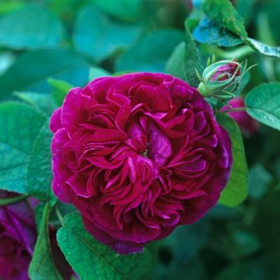 wpid12032-The-Crest-Garden-in-June-ROSE267-nicola-stocken.jpg