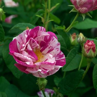wpid12034-The-Crest-Garden-in-June-ROSE398-nicola-stocken.jpg
