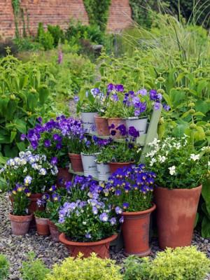 wpid12746-Plant-Profile-Perennial-Violas-GVIO003-nicola-stocken.jpg