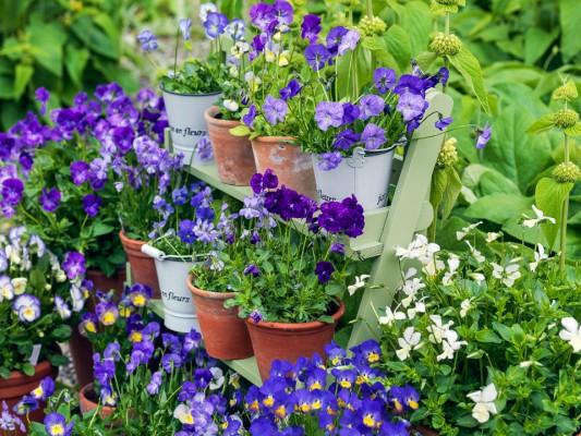 wpid12748-Plant-Profile-Perennial-Violas-GVIO005-nicola-stocken.jpg