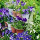 wpid12748-Plant-Profile-Perennial-Violas-GVIO005-nicola-stocken.jpg thumbnail