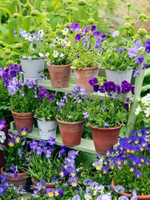 wpid12750-Plant-Profile-Perennial-Violas-GVIO008-nicola-stocken.jpg