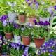 wpid12750-Plant-Profile-Perennial-Violas-GVIO008-nicola-stocken.jpg thumbnail