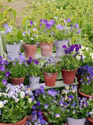 wpid12752-Plant-Profile-Perennial-Violas-GVIO009-nicola-stocken.jpg