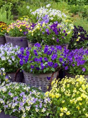 wpid12754-Plant-Profile-Perennial-Violas-GVIO012-nicola-stocken.jpg