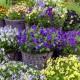 wpid12754-Plant-Profile-Perennial-Violas-GVIO012-nicola-stocken.jpg thumbnail