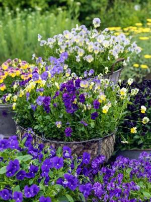 wpid12756-Plant-Profile-Perennial-Violas-GVIO015-nicola-stocken.jpg