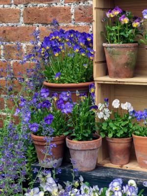 wpid12760-Plant-Profile-Perennial-Violas-GVIO022-nicola-stocken.jpg