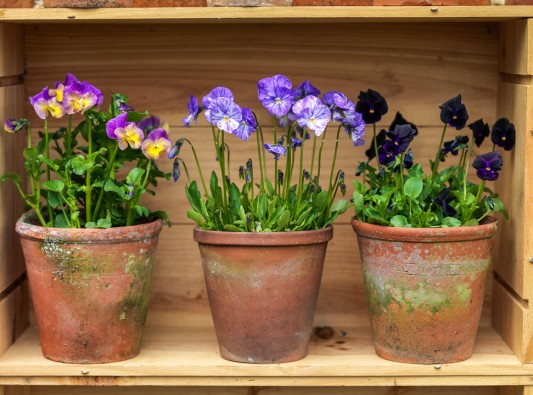 wpid12764-Plant-Profile-Perennial-Violas-GVIO024-nicola-stocken.jpg