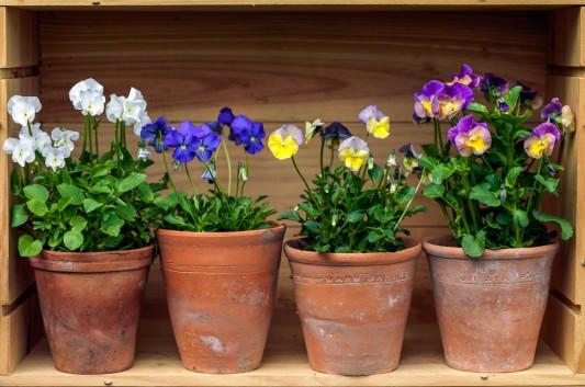 wpid12766-Plant-Profile-Perennial-Violas-GVIO025-nicola-stocken.jpg