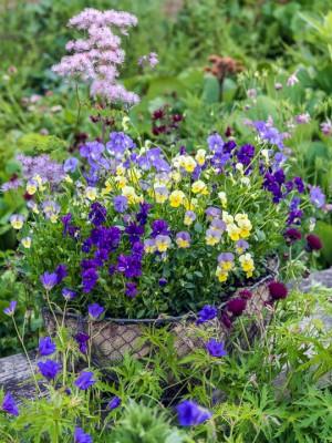 wpid12768-Plant-Profile-Perennial-Violas-GVIO027-nicola-stocken.jpg