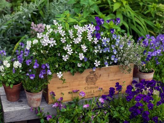 wpid12770-Plant-Profile-Perennial-Violas-GVIO028-nicola-stocken.jpg