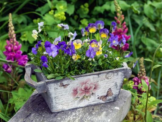 wpid12774-Plant-Profile-Perennial-Violas-GVIO033-nicola-stocken.jpg
