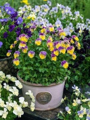 wpid12776-Plant-Profile-Perennial-Violas-GVIO035-nicola-stocken.jpg