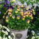 wpid12776-Plant-Profile-Perennial-Violas-GVIO035-nicola-stocken.jpg thumbnail