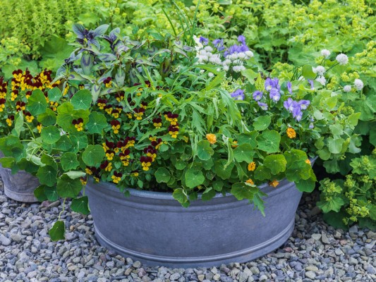 wpid12778-Plant-Profile-Perennial-Violas-GVIO036-nicola-stocken.jpg