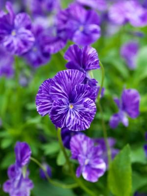 wpid12792-Plant-Profile-Perennial-Violas-PVIO004-nicola-stocken.jpg