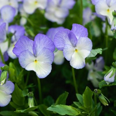 wpid12794-Plant-Profile-Perennial-Violas-PVIO005-nicola-stocken.jpg