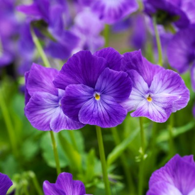 wpid12796-Plant-Profile-Perennial-Violas-PVIO006-nicola-stocken.jpg