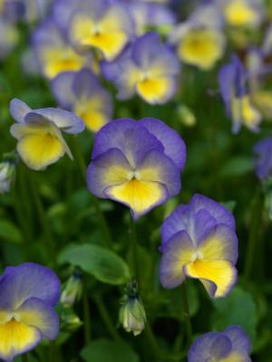wpid12798-Plant-Profile-Perennial-Violas-PVIO007-nicola-stocken.jpg
