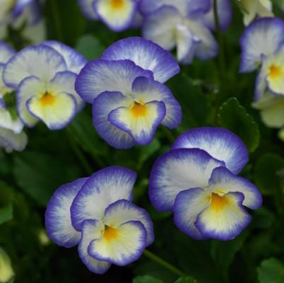 wpid12800-Plant-Profile-Perennial-Violas-PVIO008-nicola-stocken.jpg