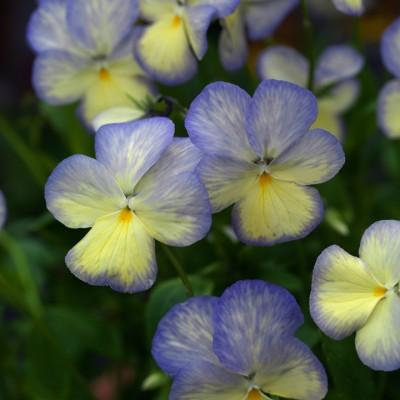 wpid12802-Plant-Profile-Perennial-Violas-PVIO009-nicola-stocken.jpg