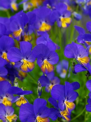 wpid12804-Plant-Profile-Perennial-Violas-PVIO010-nicola-stocken.jpg