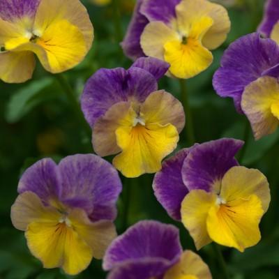 wpid12806-Plant-Profile-Perennial-Violas-PVIO011-nicola-stocken.jpg