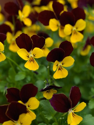 wpid12808-Plant-Profile-Perennial-Violas-PVIO014-nicola-stocken.jpg