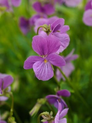wpid12810-Plant-Profile-Perennial-Violas-PVIO015-nicola-stocken.jpg